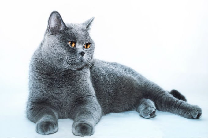 Ultimate Weight Loss Guide For Overweight Cats
